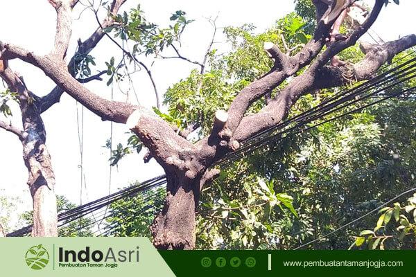 Indo Asri juga menyediakan jasa tebang pohon