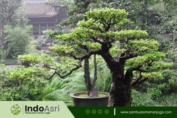 Selain tanaman hias, Indo Asri juga menyediakan berbagai macam tanaman bonsai