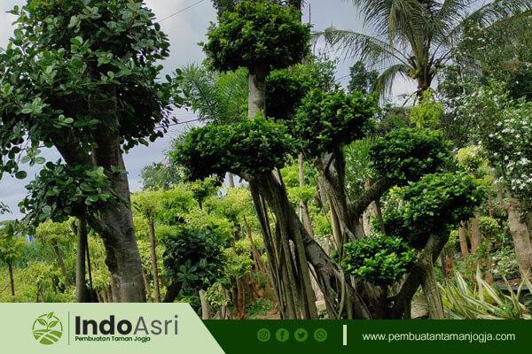 Untuk Anda yang ingin menambahkan pohon untuk taman Anda, kami menyediakan pohon perindang